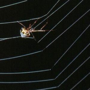 Fêmea na teia de um araneídeo © Pedro Cardoso