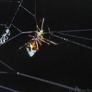 Fêmea a predar um pequeno insecto preso na teia de um araneídeo © Pedro Cardoso