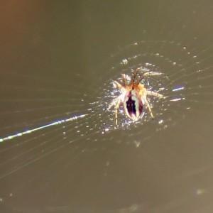 Aranha na teia. À esquerda vê-se o fio de guia mais grosso. © Luís Nunes Alberto