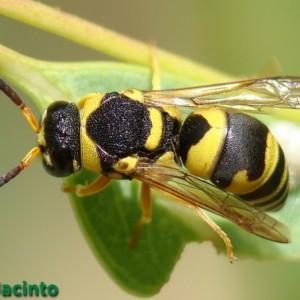 Euodynerus variegatus