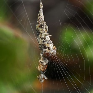 http://naturdata.com/images/species/13000/thumbnail_1271085038.jpg