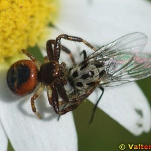 Aranha a predar uma mosca © Valter Jacinto