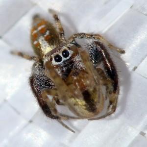 Macho a predar uma aranha © Valter Jacinto