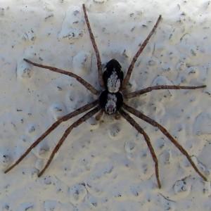 Philodromus pulchellus