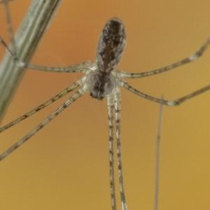 Holocnemus hispanicus