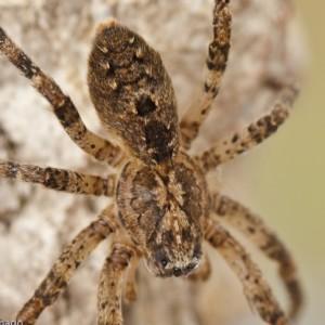 Esta espécie apresenta um padrão dorsal muito característico. © Emídio Machado
