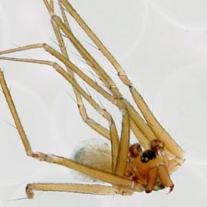 Canariphantes acoreensis
