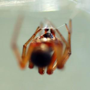 Macho adulto carrega os palpos na teia espermática © Rui Carvalho