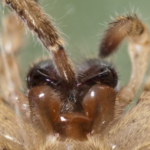 Detalhe ventral das quelíceras, lábio e lâminas maxilares. © Emídio Machado