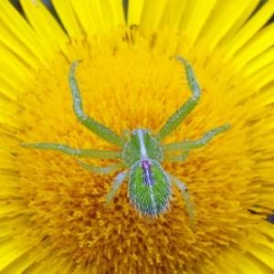 Heriaeus oblongus