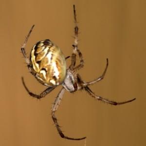 http://naturdata.com/images/species/13000/thumbnail_1301788859.jpg