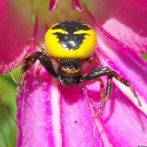 http://naturdata.com/images/species/13000/thumbnail_1303588431.jpg
