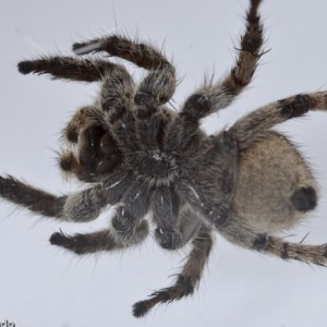 http://naturdata.com/images/species/13000/thumbnail_1306583906.jpg