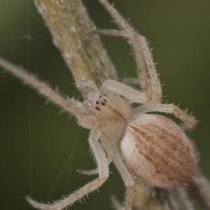 http://naturdata.com/images/species/13000/thumbnail_1312485149.jpg