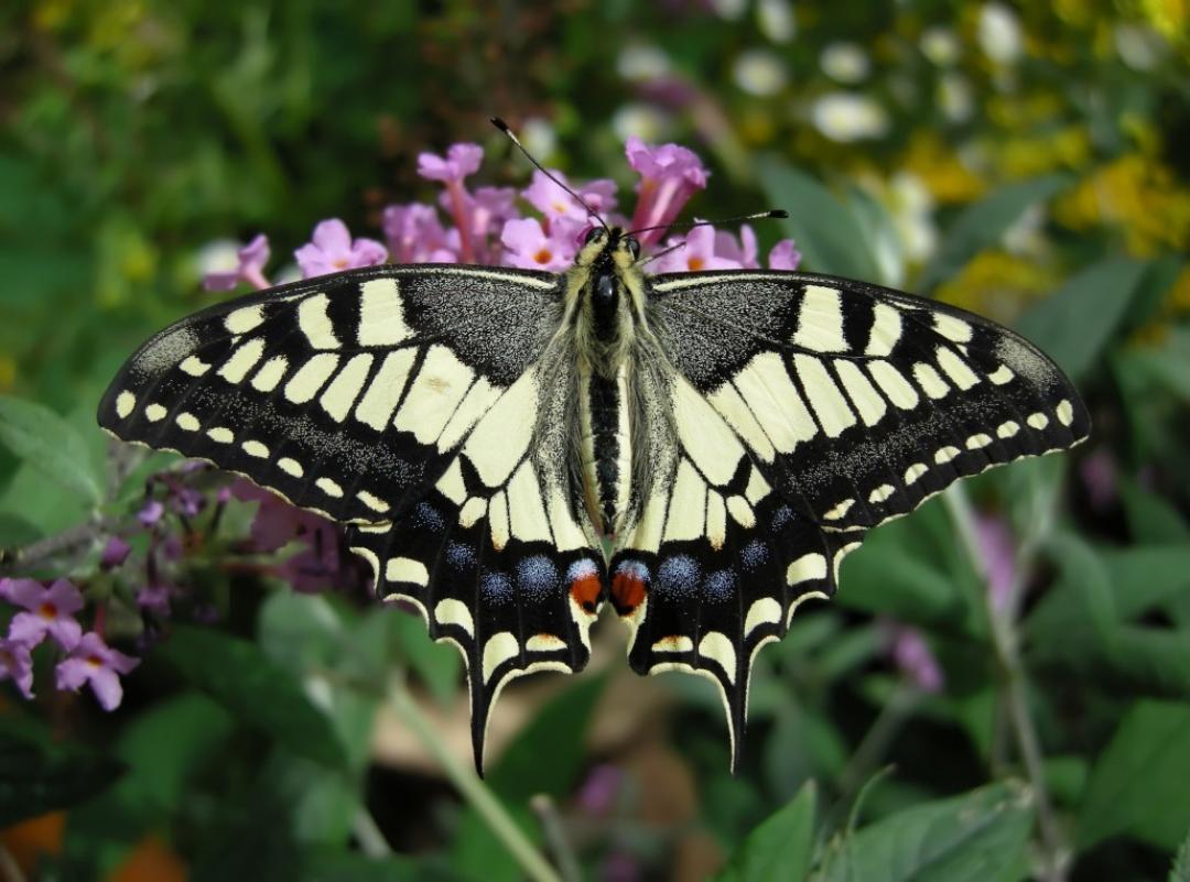 Papilio machaon © Montado do Freixo do Meio
