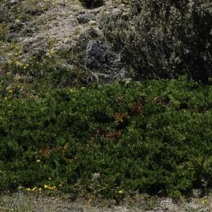 Juniperus communis subsp. alpina