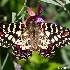 http://naturdata.com/images/species/14000/Zerynthia-rumina-14599-137050880634348-tb.jpg