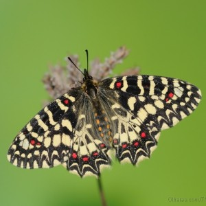 http://naturdata.com/images/species/14000/Zerynthia-rumina-14599-138244973787852-tb.jpg