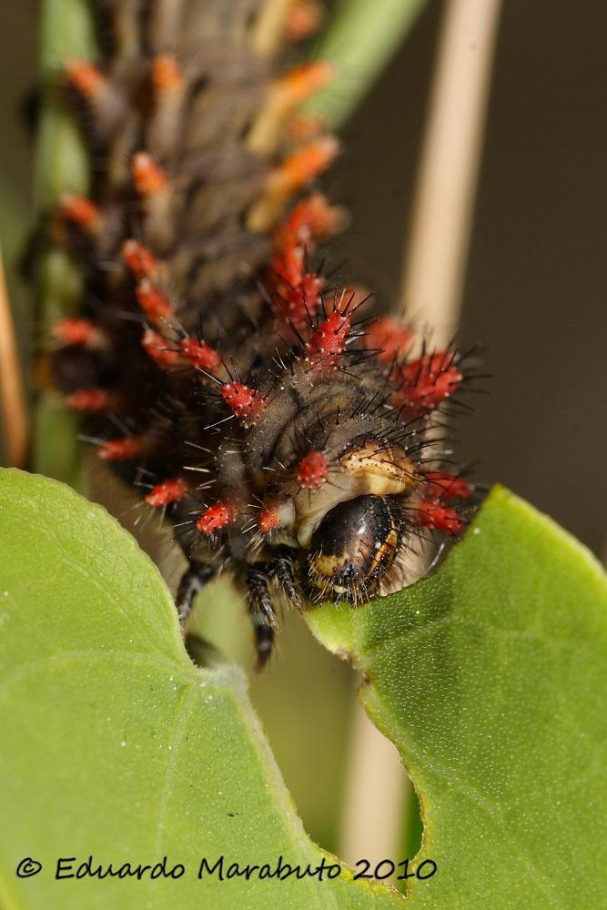 Larva alimentando-se © Eduardo Marabuto