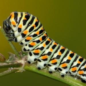 http://naturdata.com/images/species/14000/thumbnail_1264764375.jpg