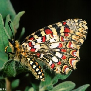 http://naturdata.com/images/species/14000/thumbnail_1265160462.jpg