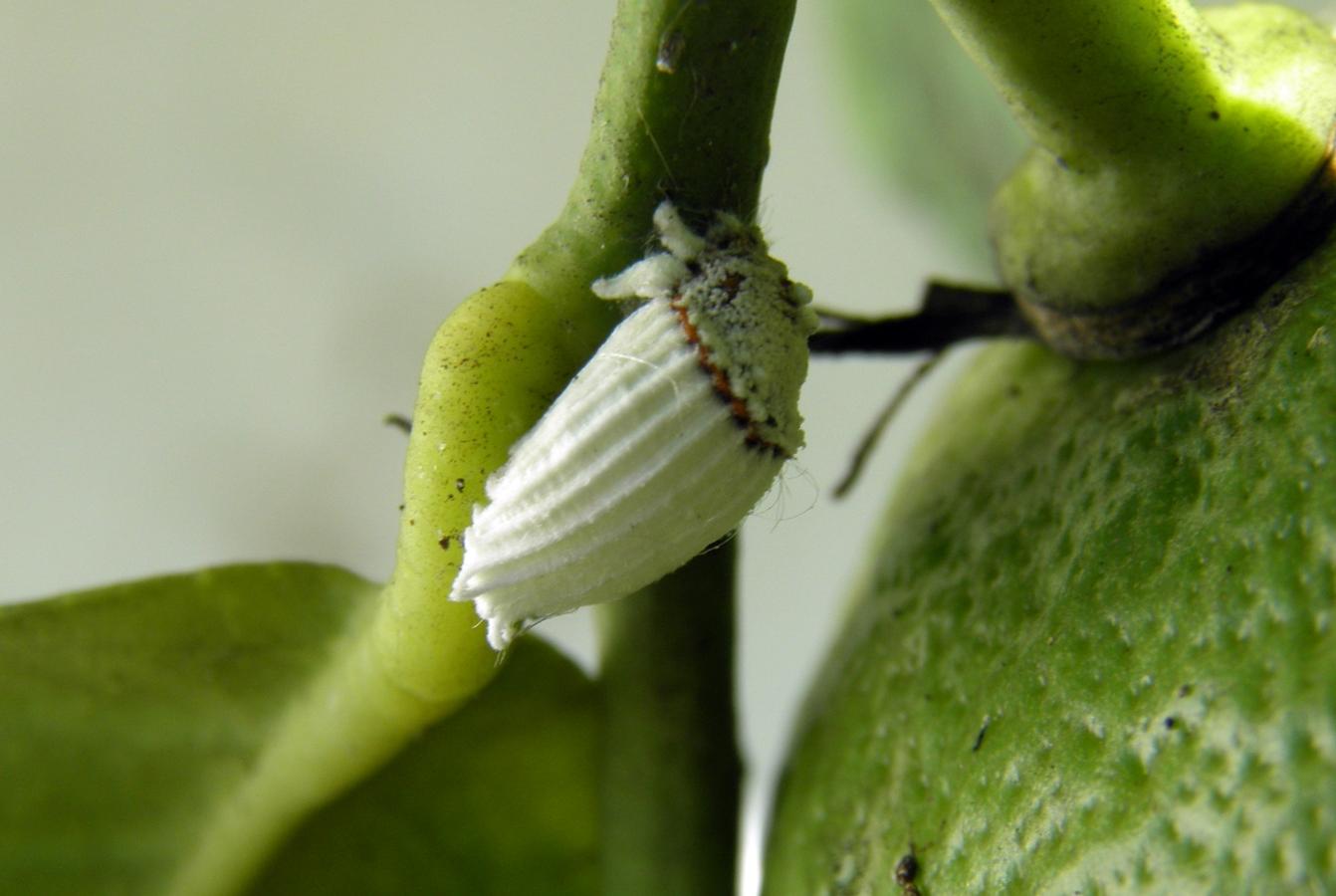 Fêmea em pedúnculo de limão © Ricardo Ramos da Silva