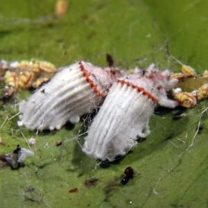 Fêmeas adultas e ninfas de segundo estadio em nervura de folha de limoeiro © Ricardo Ramos da Silva