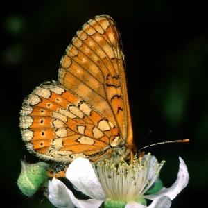 http://naturdata.com/images/species/15000/thumbnail_1265117641.jpg