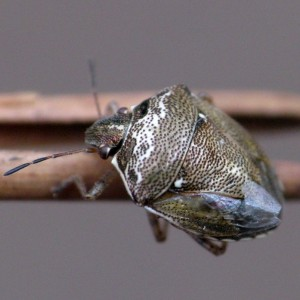 Eysarcoris ventralis