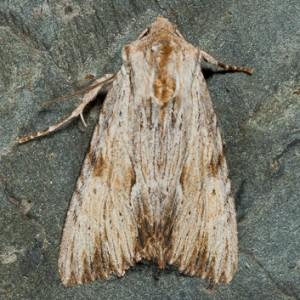 Abromias lithoxylaea
