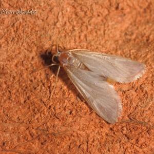 Acentria ephemerella