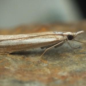 Agriphila latistria
