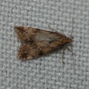 Brachmia blandella