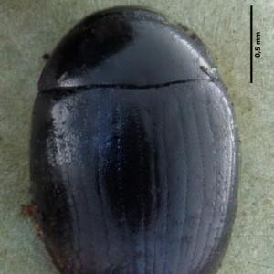 Cercyon obsoletus