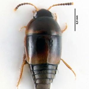 Coproporus pulchellus