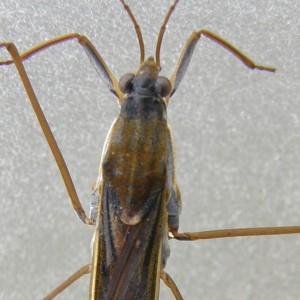 Gerris thoracicus