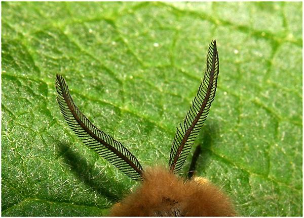 Pormenor das antenas de um macho © Pedro Pires