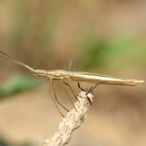Chorosoma schillingii