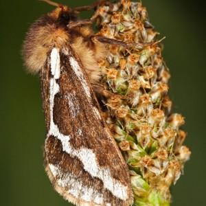 Korscheltellus lupulinus