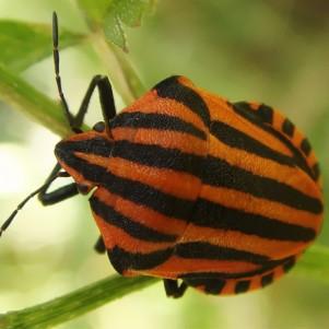 http://naturdata.com/images/species/16000/thumbnail_1270466987.jpg