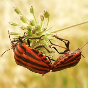 http://naturdata.com/images/species/16000/thumbnail_1270467021.jpg