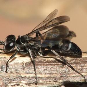Aporinellus sexmaculatus