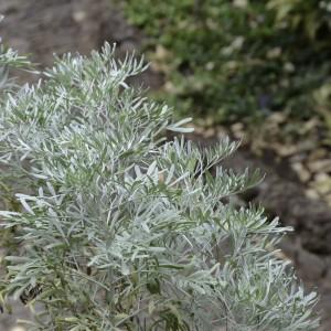 Artemisia argentea