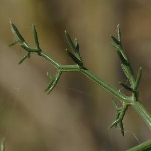 Distichoselinum tenuifolium