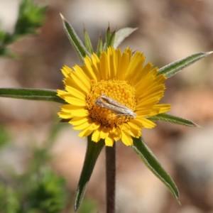 Pallenis spinosa