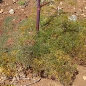 Ferula communis subsp. catalaunica