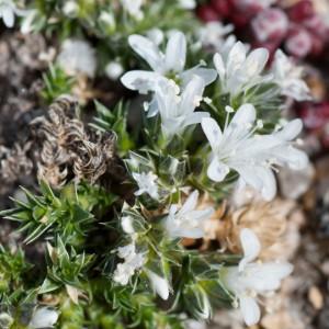 Arenaria querioides subsp. querioides