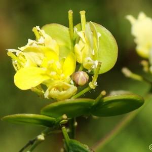 Brassica napus subsp. rapifera
