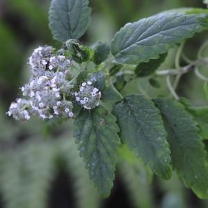 Bystropogon maderensis