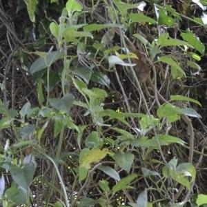 Convolvulus massonii